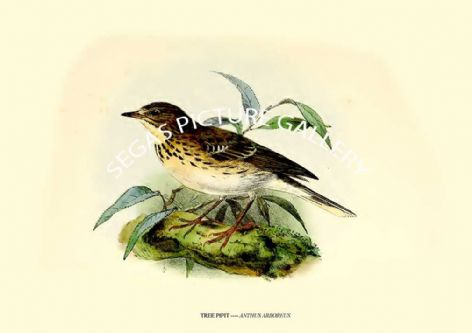Fine art print of the TREE PIPIT ---- ANTHUS ARBOREUS by J G Keulemans (1869-76)